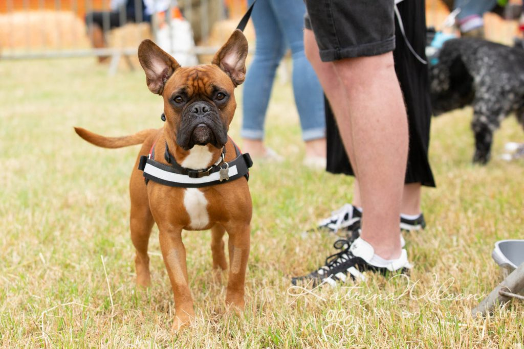 Companion dog show cute dog - Katrina Wilson Pet Photographer Bedfordshire-16