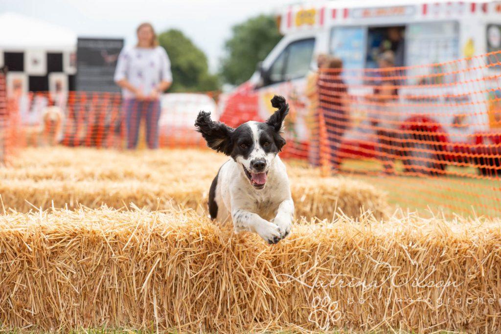Companion dog show cute dog - Katrina Wilson Pet Photographer Bedfordshire-17