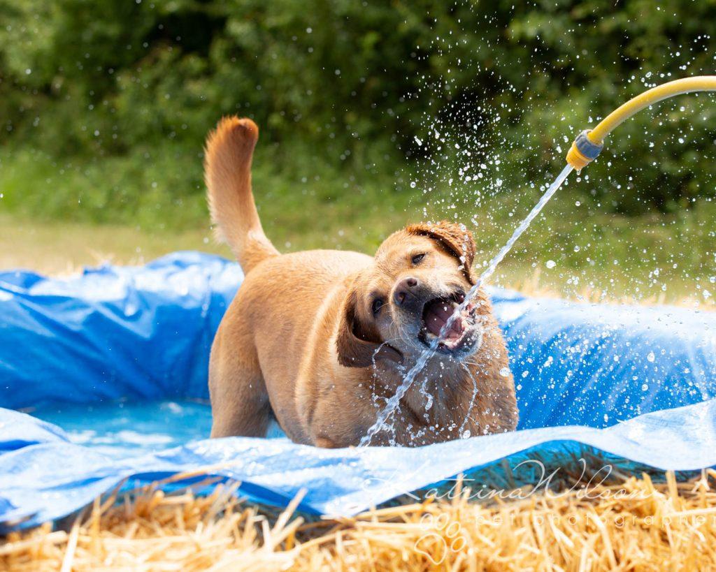 Companion dog show cute dog - Katrina Wilson Pet Photographer Bedfordshire-18