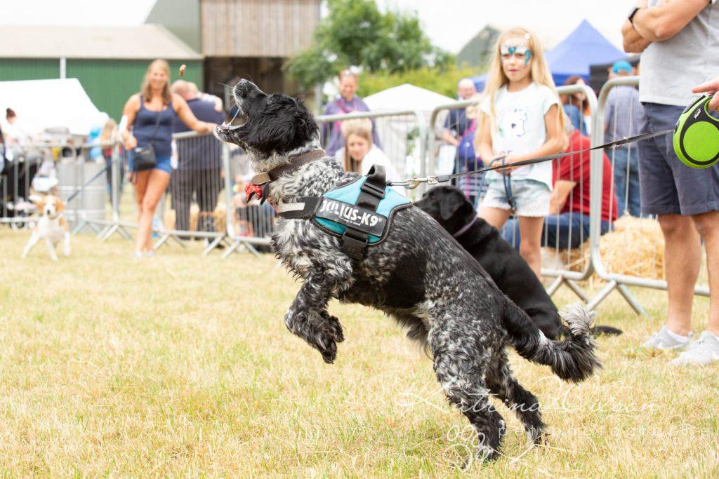 Companion dog show cute dog - Katrina Wilson Pet Photographer Bedfordshire-19