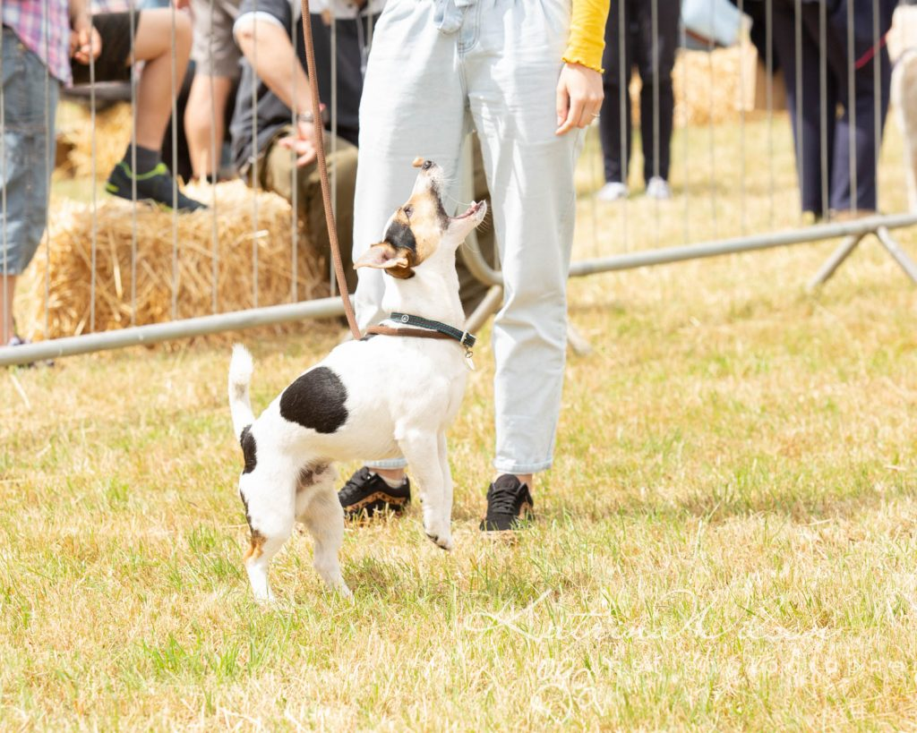 Companion dog show cute dog - Katrina Wilson Pet Photographer Bedfordshire-20