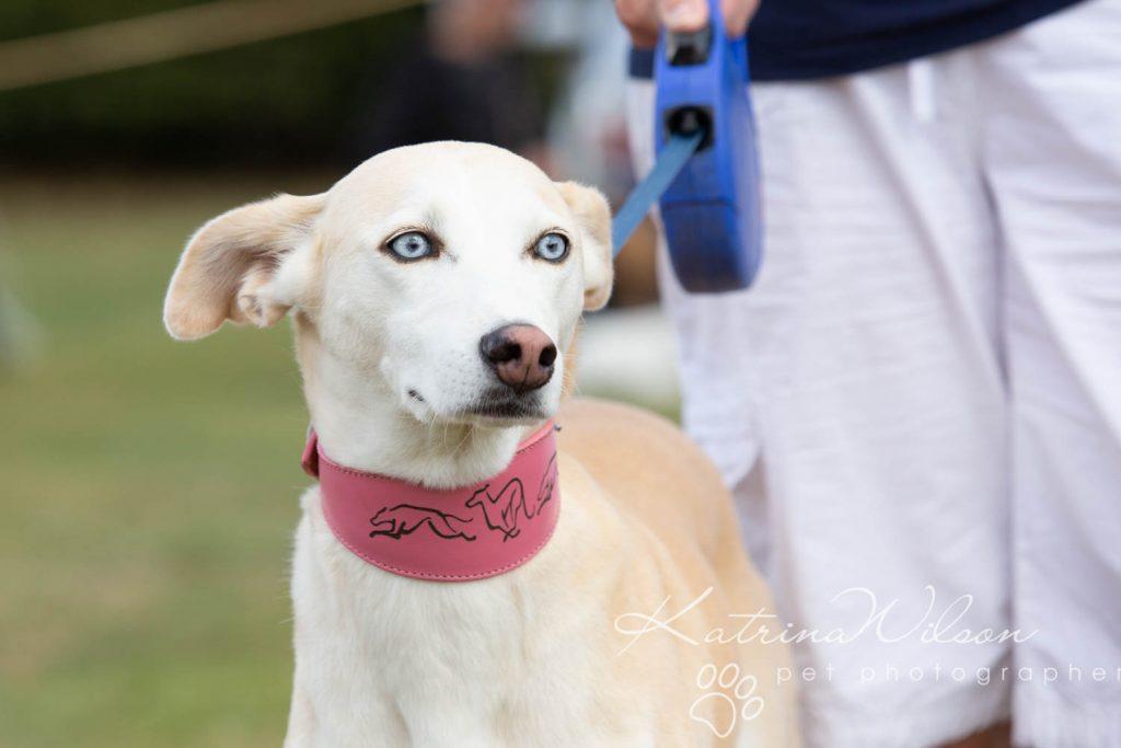 Companion dog show cute dog - Katrina Wilson Pet Photographer Bedfordshire-25