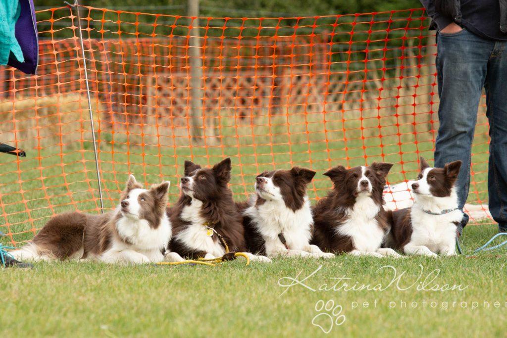Companion dog show cute dog - Katrina Wilson Pet Photographer Bedfordshire-27