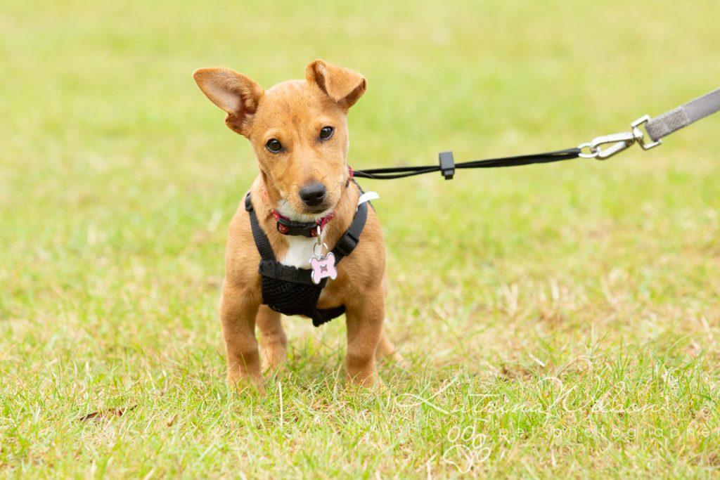 Companion dog show cute dog - Katrina Wilson Pet Photographer Bedfordshire-29