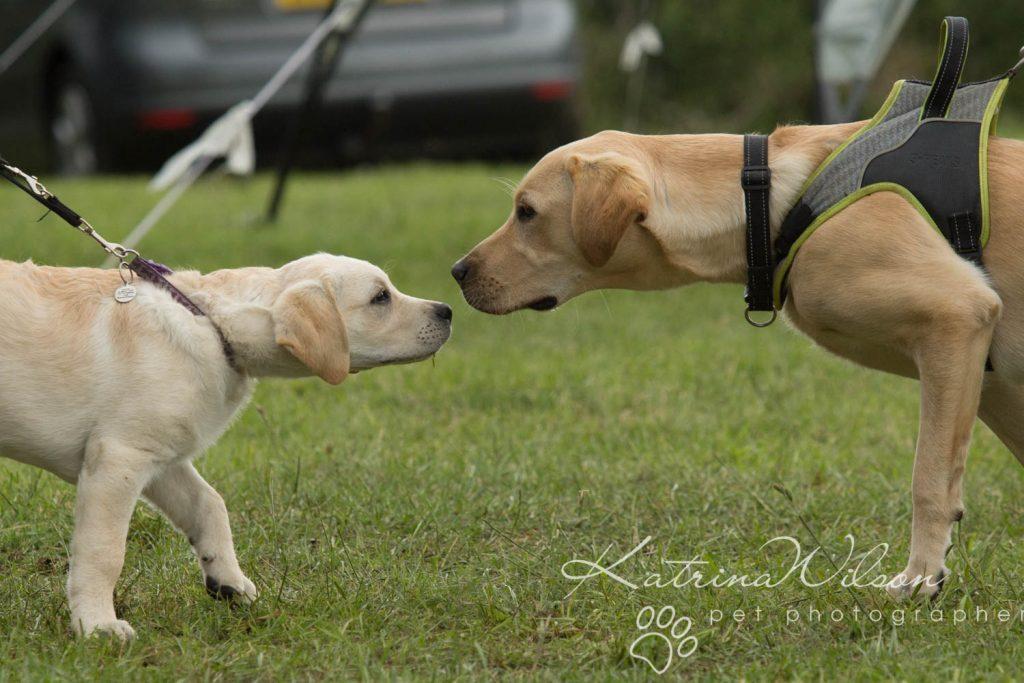 Companion dog show cute dog - Katrina Wilson Pet Photographer Bedfordshire-4