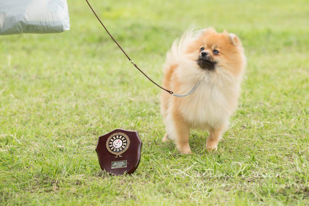 Companion dog show cute dog - Katrina Wilson Pet Photographer Bedfordshire-7