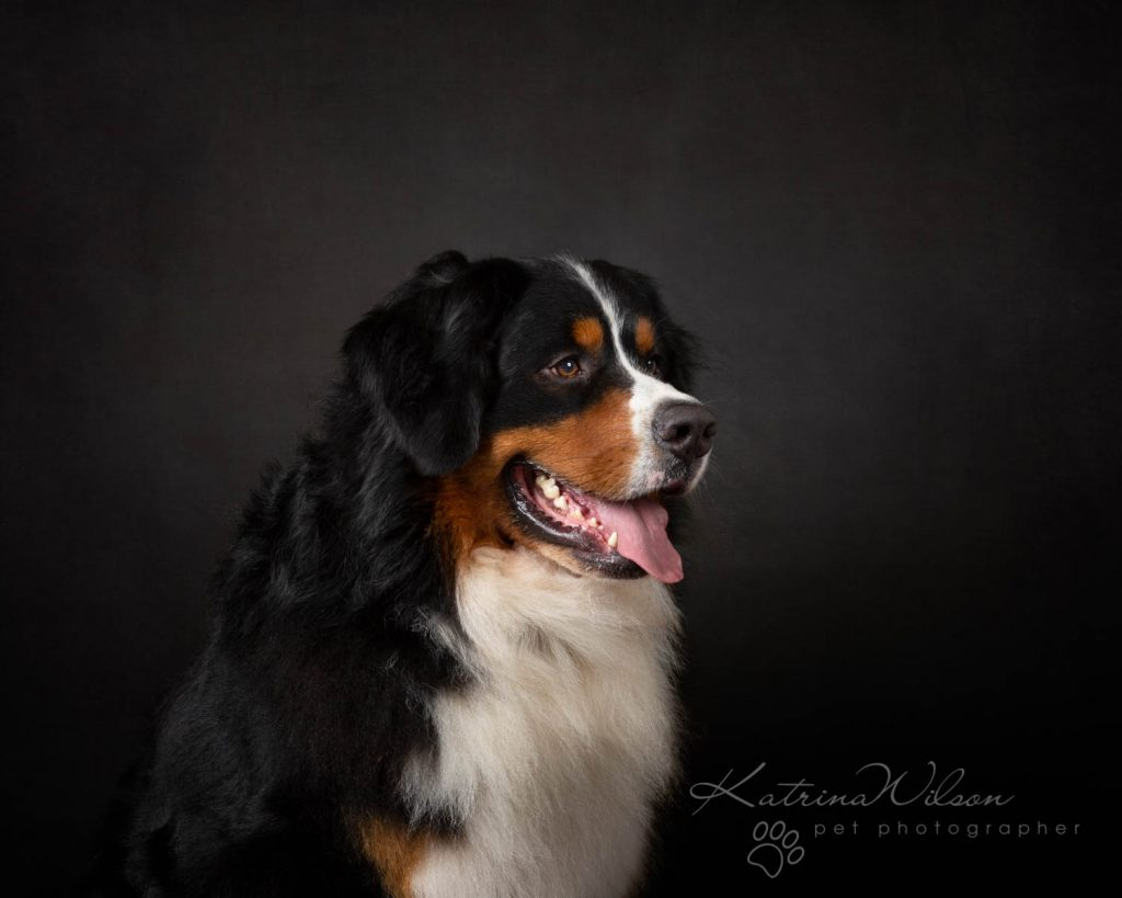 Bernese Mountain Dog - Katrina Wilson Dog Photographer Bedfordshire-10