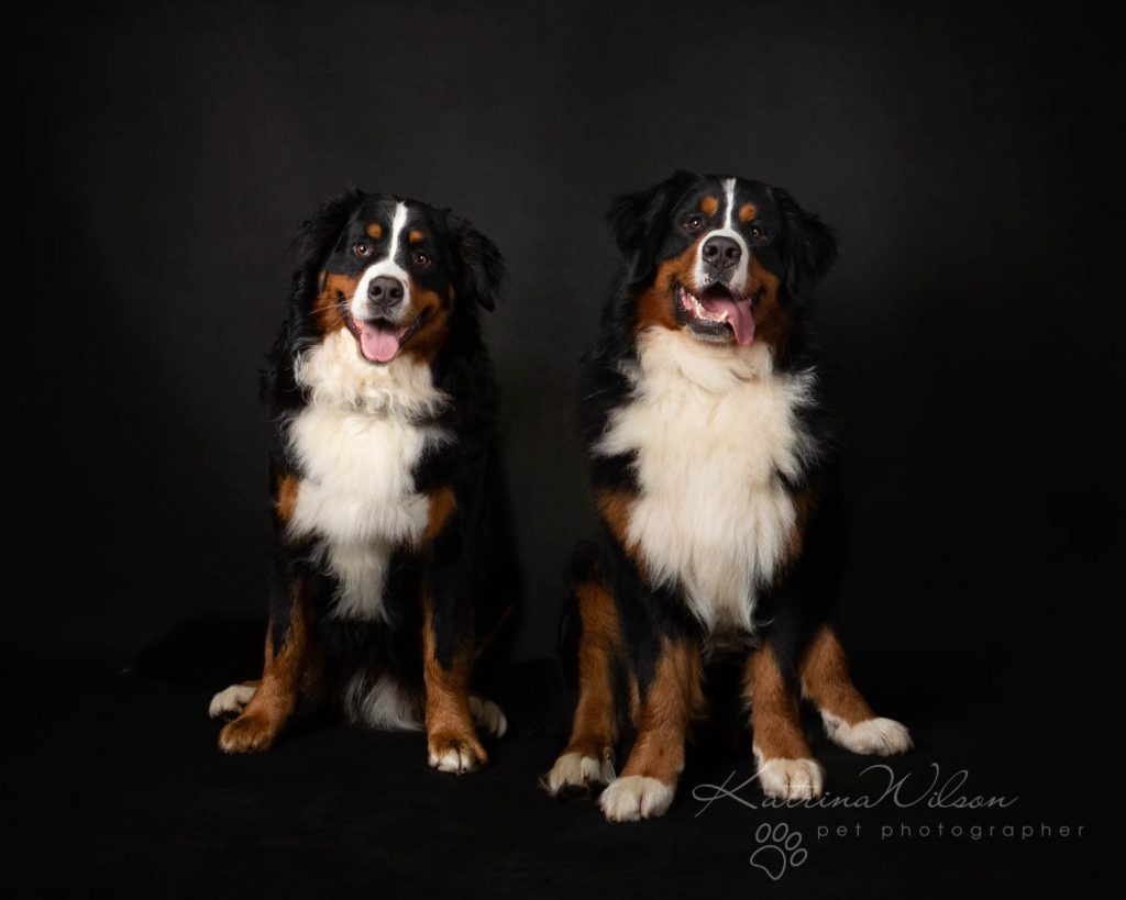 Bernese Mountain Dog - Katrina Wilson Dog Photographer Bedfordshire-2