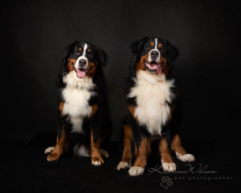 Bernese Mountain Dog - Katrina Wilson Dog Photographer Bedfordshire-2