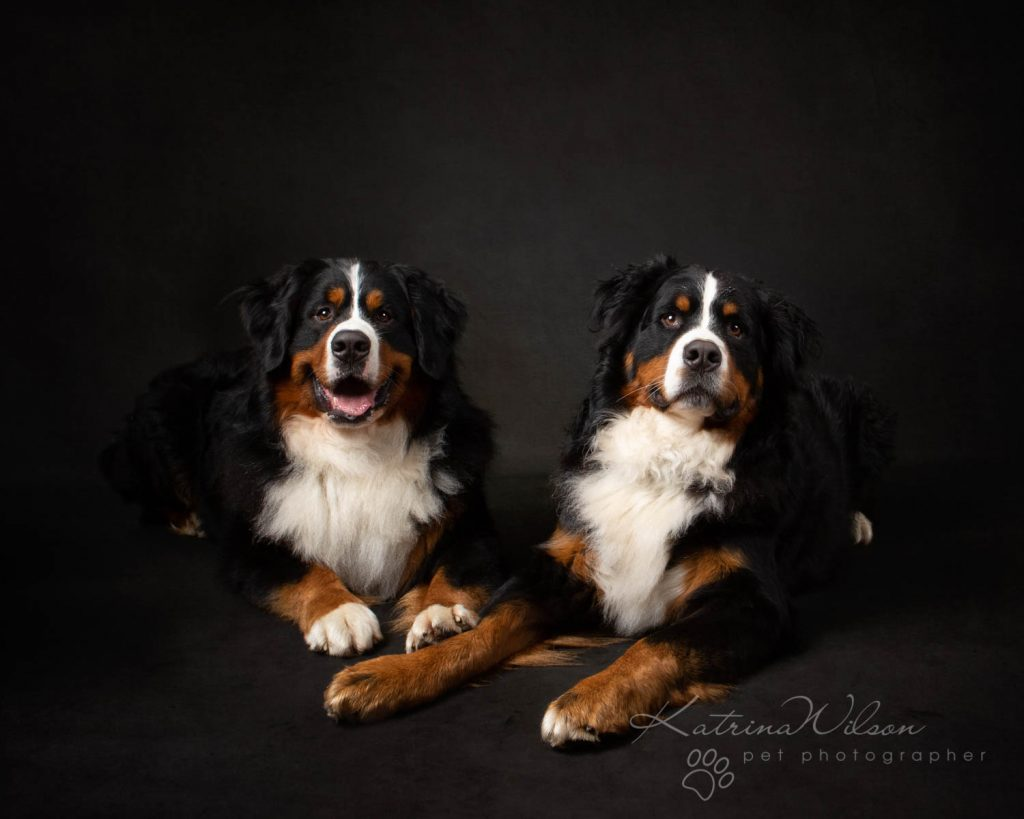 Bernese Mountain Dog - Katrina Wilson Dog Photographer Bedfordshire-3