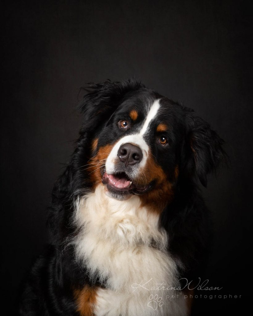 Bernese Mountain Dog - Katrina Wilson Dog Photographer Bedfordshire-5