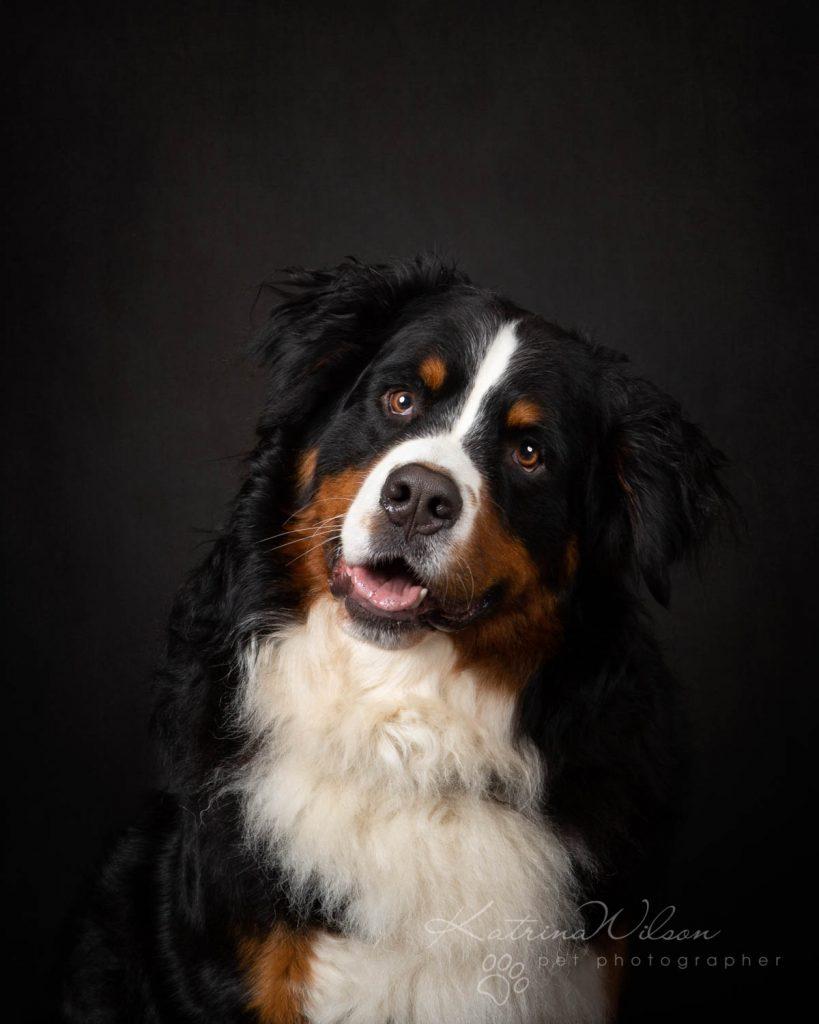 Bernese Mountain Dog - Katrina Wilson Dog Photographer Bedfordshire-5