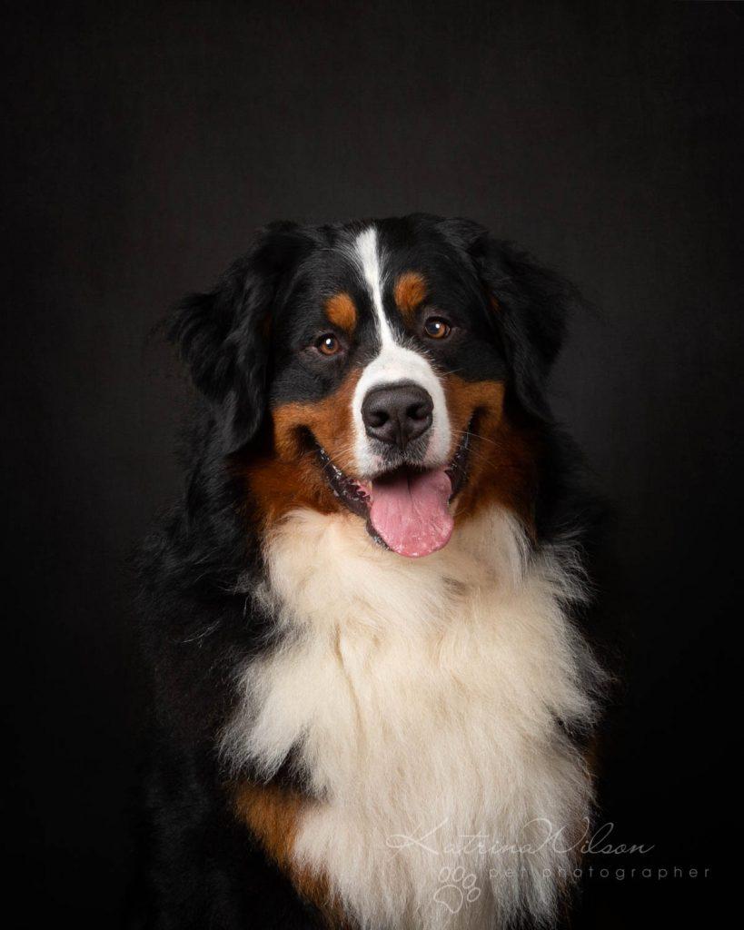 Bernese Mountain Dog - Katrina Wilson Dog Photographer Bedfordshire-6