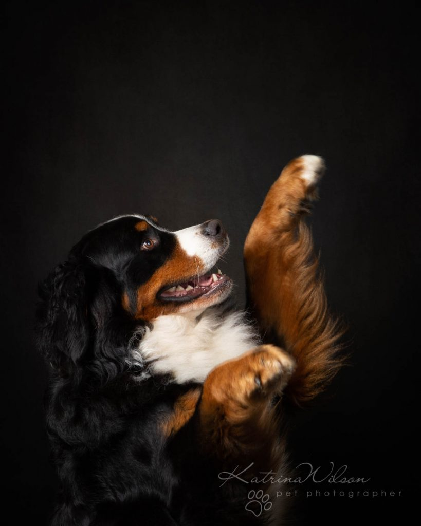 Bernese Mountain Dog - Katrina Wilson Dog Photographer Bedfordshire-9