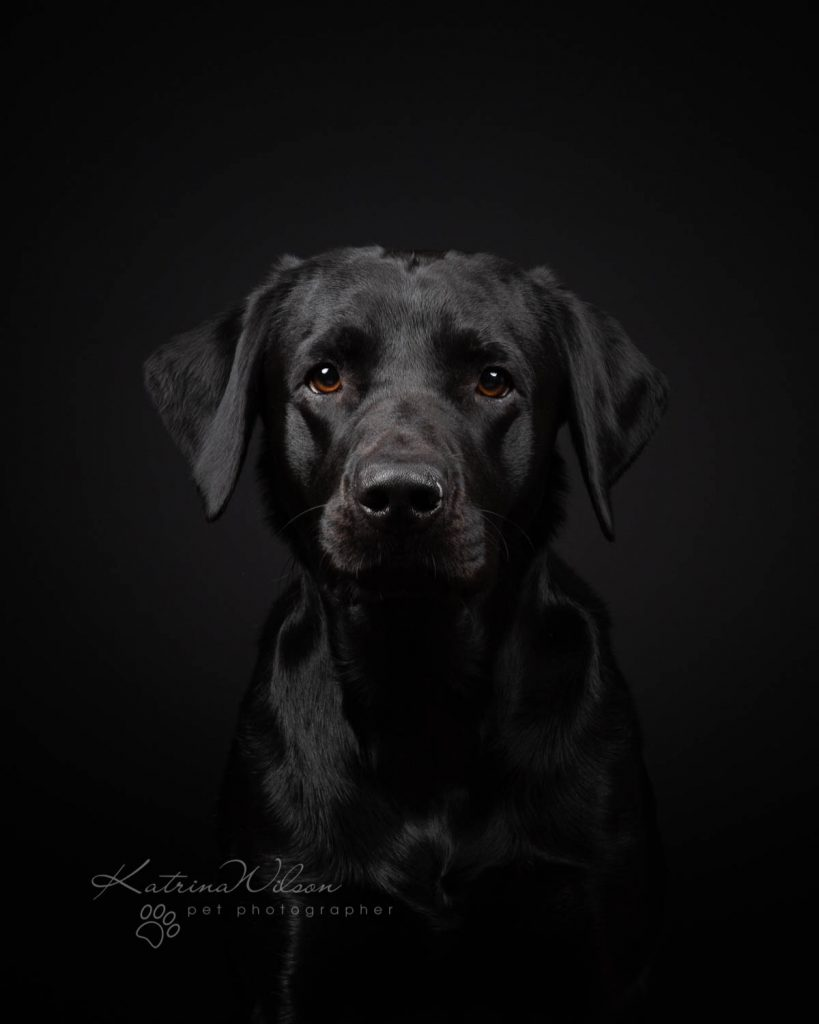 Black Labrador - Top 10 Dog Breeds Katrina Wilson Dog Photographer-1