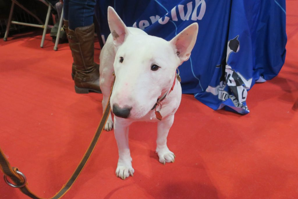 Crufts 2020 - Bull Terrier - Katrina Wilson Dog Photography