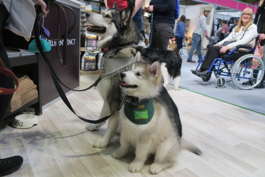 Crufts 2020 - Cute Husky Puppy - Katrina Wilson Dog Photography