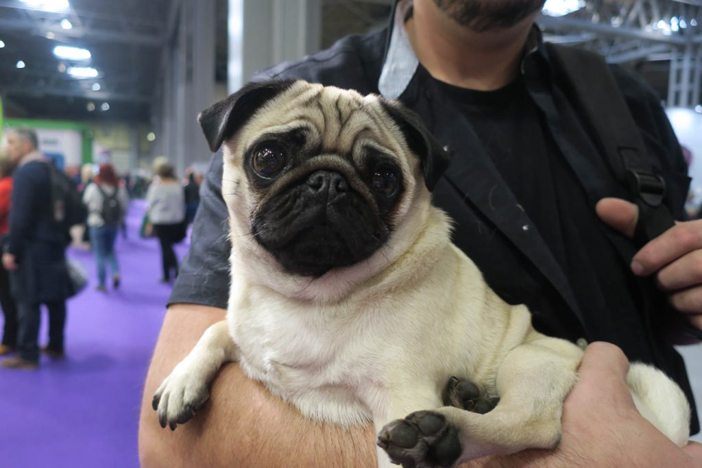 Crufts 2020 - Lily the Pug - Katrina Wilson Dog Photography