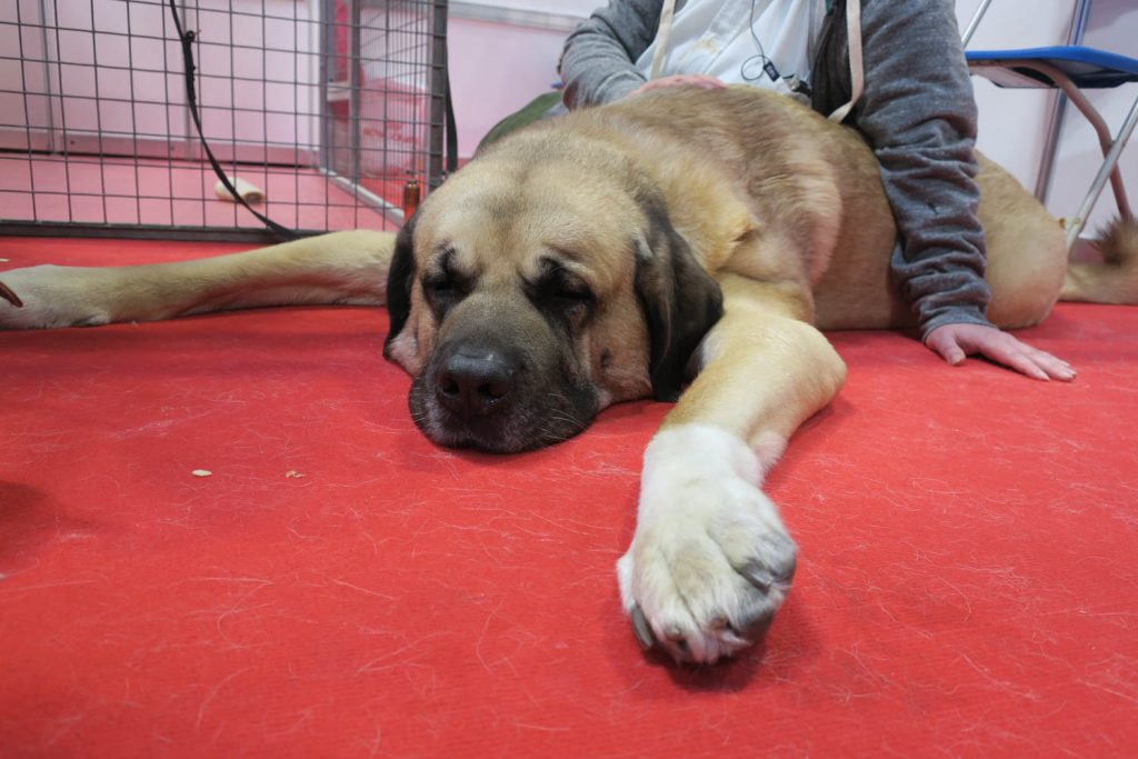Crufts 2020 - Turkish Kangal Dog - Katrina Wilson Dog Photography