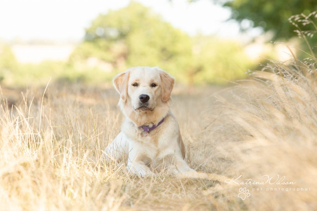 Golden Retriever - Top 10 Dog Breed Katrina Wilson Dog Photographer-1