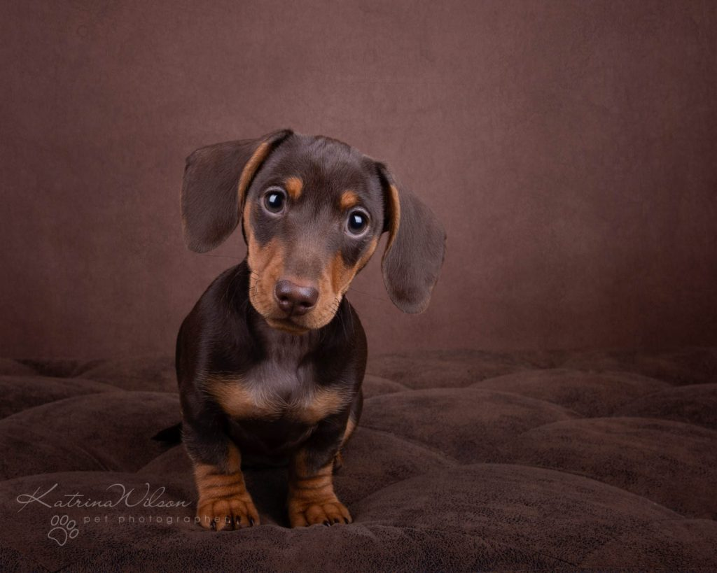 Mini Smooth Dachshund - Top 10 Dog Breed Katrina Wilson Dog Photographer-1