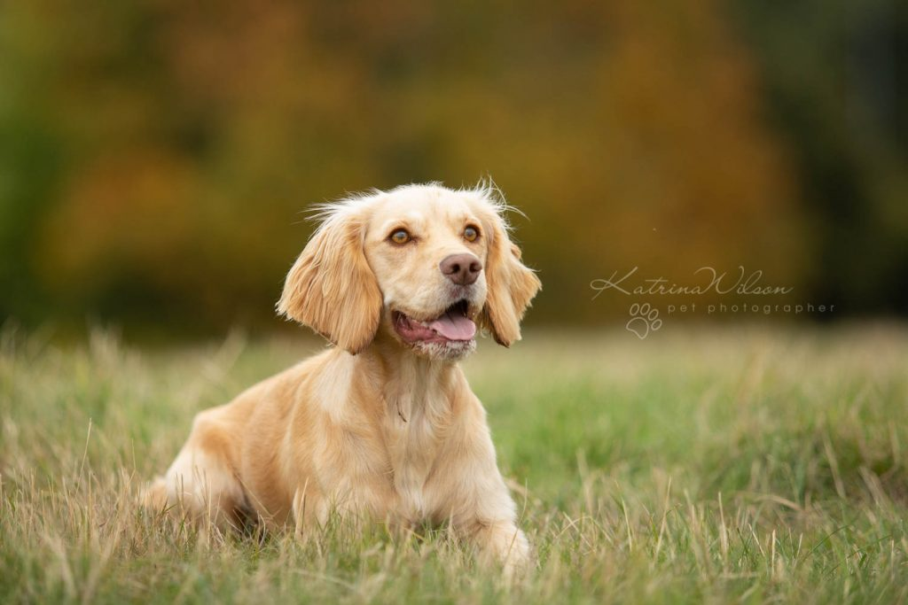 Working Cocker Spaniel - Top 10 Dog Breed Katrina Wilson Dog Photographer-1