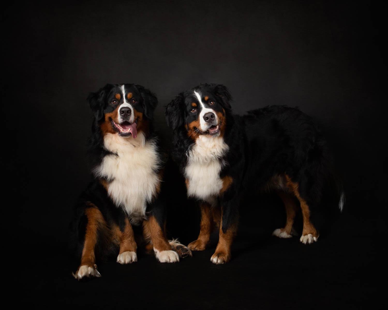 Bernese Mountain Dog Studio - Katrina Wilson Pet Photographer Bedfordshire -1