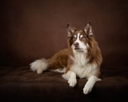 Border Collie Dog Photographer - Katrina Wilson Pet Photographer Bedfordshire -1