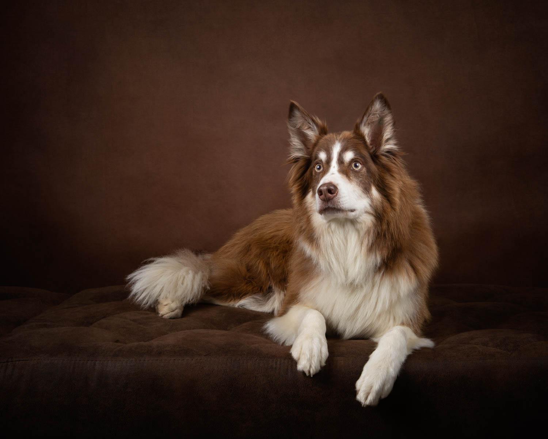 Border Collie Dog Photographer - Katrina Wilson Pet Photographer Bedfordshire -1