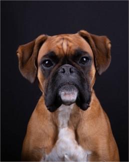 Boxer - Katrina Wilson Dog Photographer Bedfordshire -1