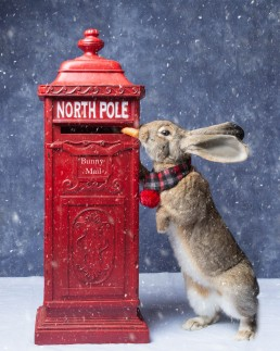 Bunny Rabbit Christmas Card - Katrina Wilson Pet Photographer Bedfordshire -1