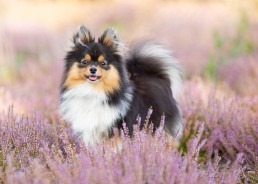 Cute Puppy Pomeranian - Katrina Wilson Dog Photographer Bedfordshire -1