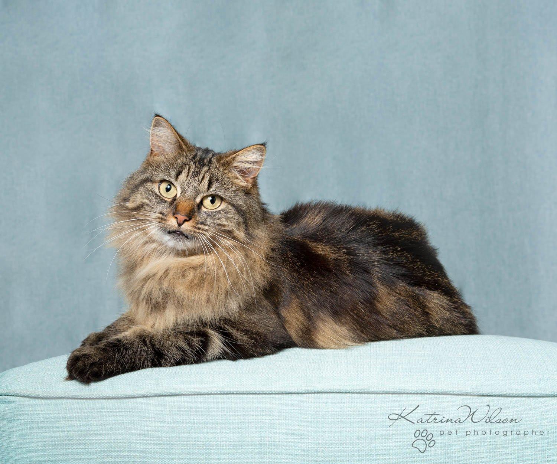 Feline Tabby Cat Photographer - Katrina Wilson Pet Photographer Bedfordshire -1