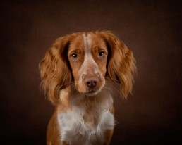 Spaniel Dog Photographer - Katrina Wilson Pet Photographer Bedfordshire -1