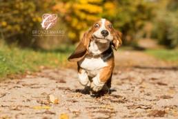 Basset Hound - Katrina Wilson Dog Photographer Bedfordshire