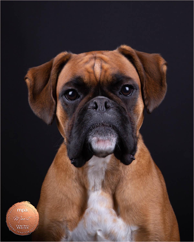 Boxer Dog - Katrina Wilson Dog Photographer Bedfordshire