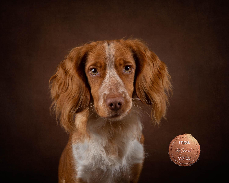 Cocker Spaniel - Katrina Wilson Dog Photographer Bedfordshire