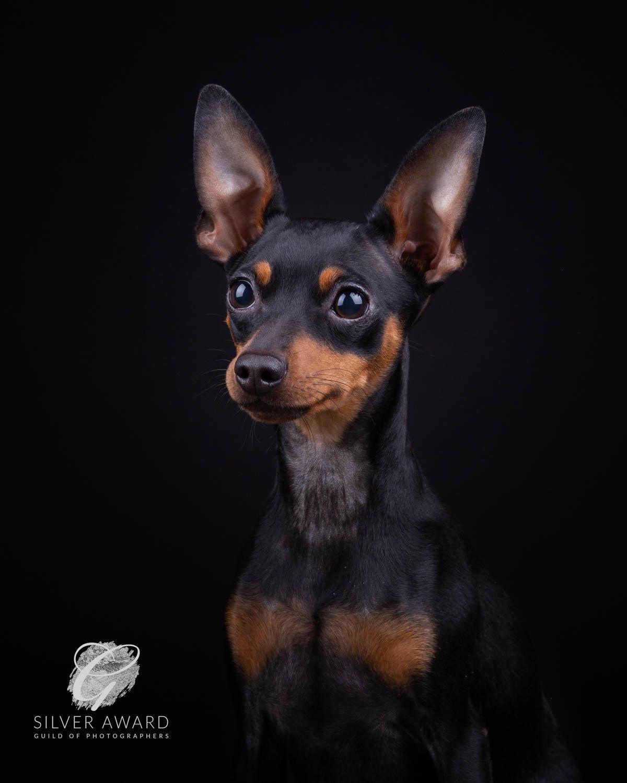 Miniature Pinscher - Katrina Wilson Dog Photographer Bedfordshire