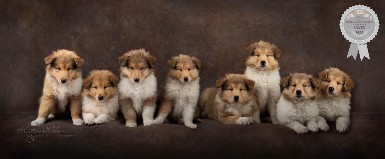 Rough Collie Puppies - Katrina Wilson Dog Photographer Bedfordshire