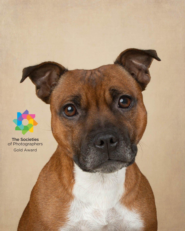 Staffordshire Bull Terrier - Katrina Wilson Dog Photographer Bedfordshire