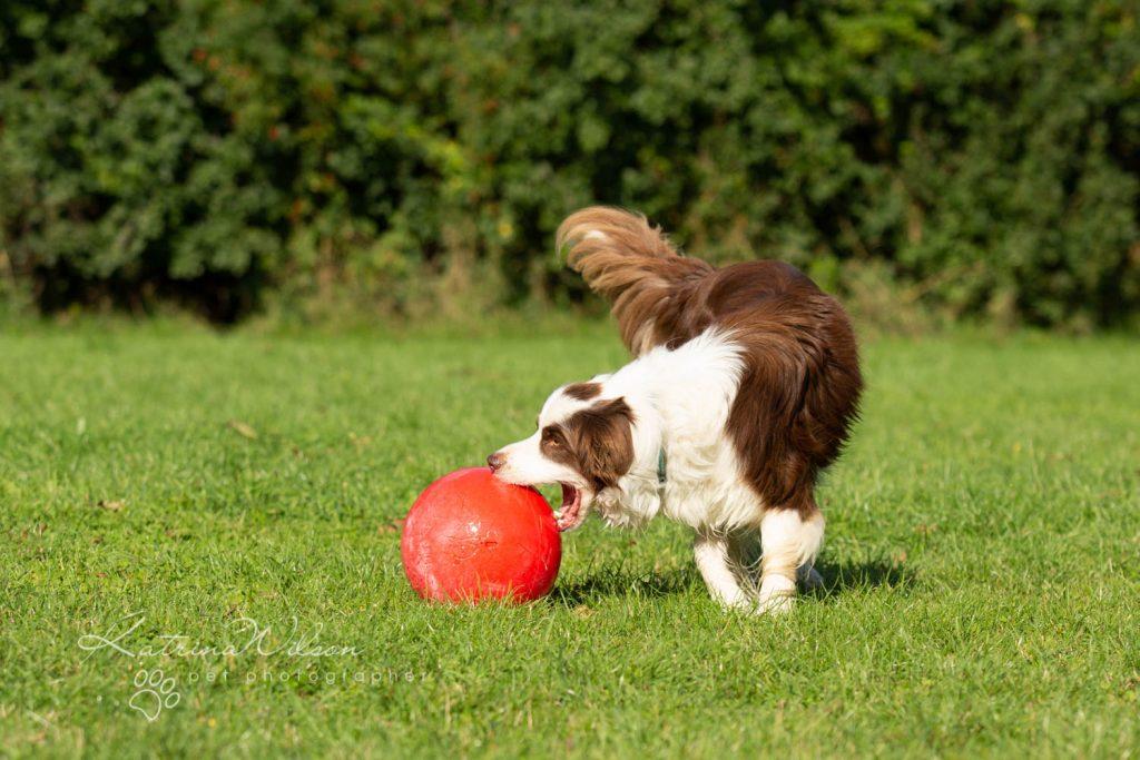 Border Collie - Four Paws Adventure Academy Katrina Wilson Dog Photography-1