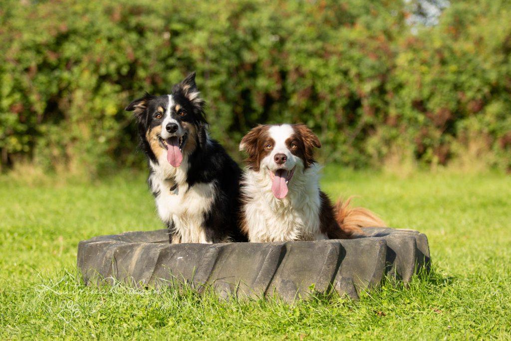 Border Collie - Four Paws Adventure Academy Katrina Wilson Dog Photography-10