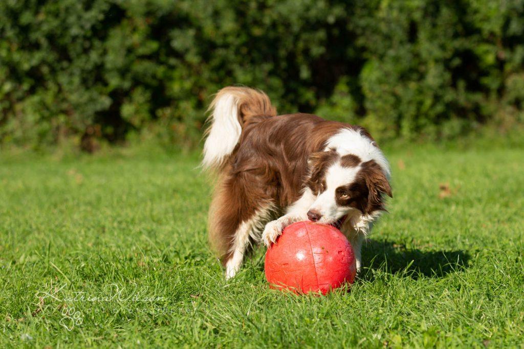 Border Collie - Four Paws Adventure Academy Katrina Wilson Dog Photography-2