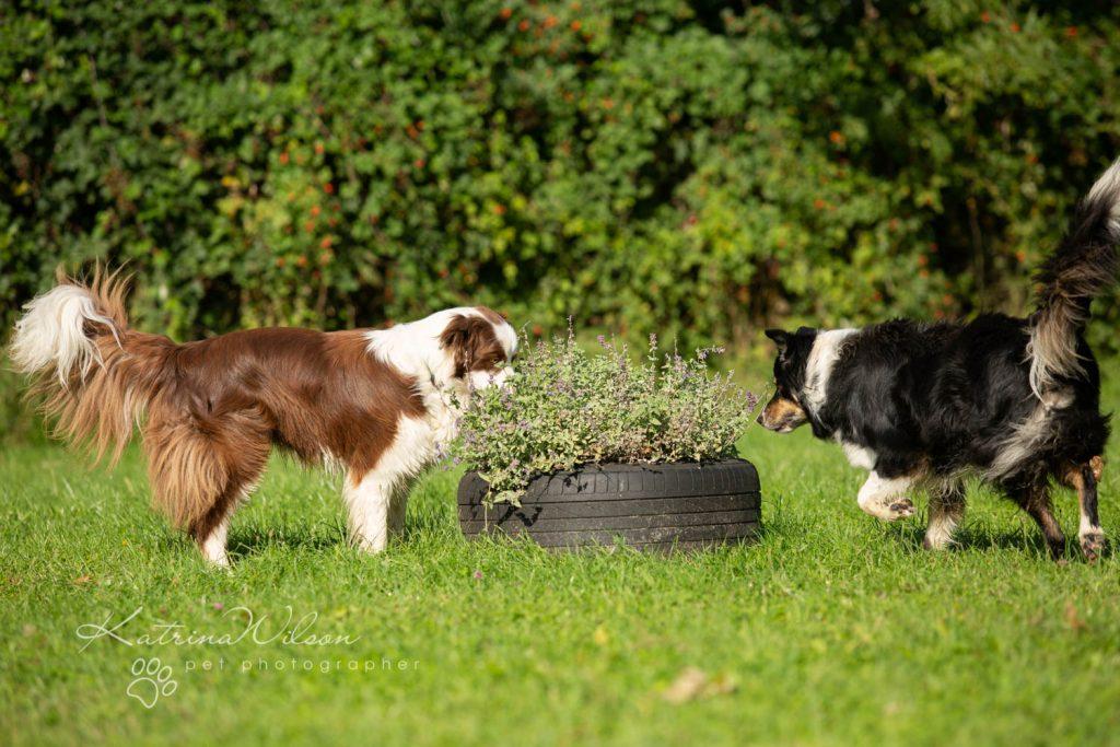 Border Collie - Four Paws Adventure Academy Katrina Wilson Dog Photography-6