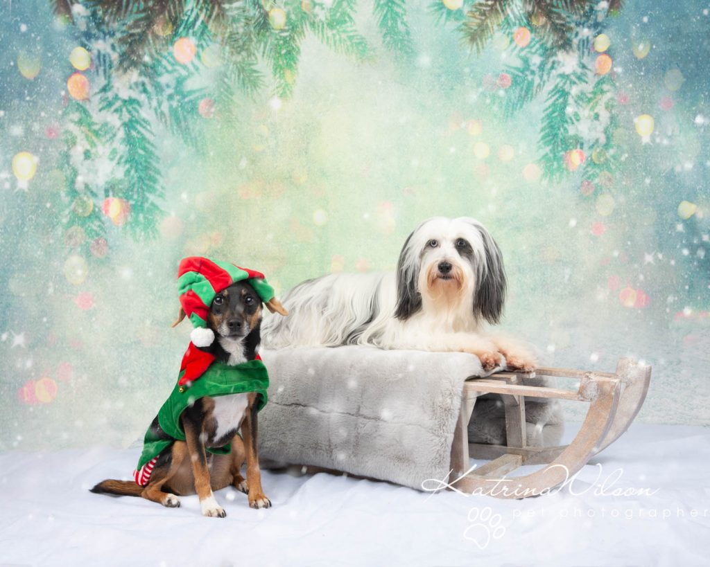 Christmas card animal cat rabbit - Katrina Wilson Dog Photography Bedfordshire-10