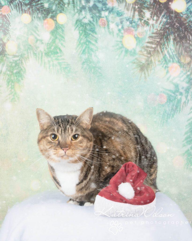 Christmas card animal cat rabbit - Katrina Wilson Dog Photography Bedfordshire-22