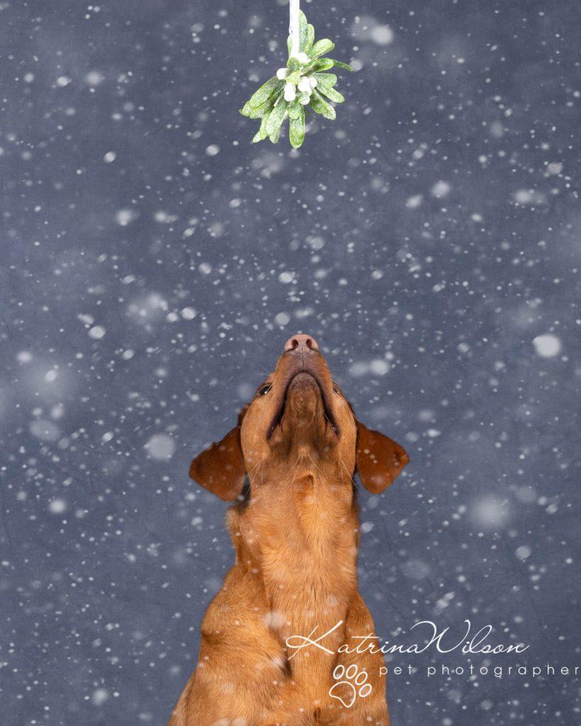 Christmas card animal cat rabbit - Katrina Wilson Dog Photography Bedfordshire-28