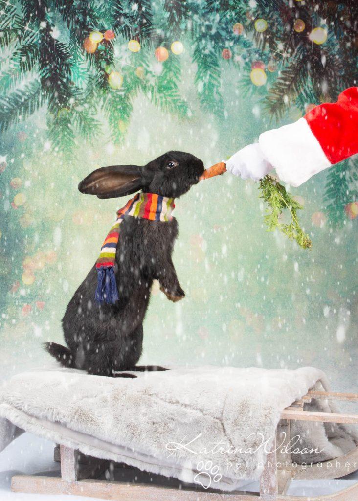 Christmas card animal cat rabbit - Katrina Wilson Dog Photography Bedfordshire-5