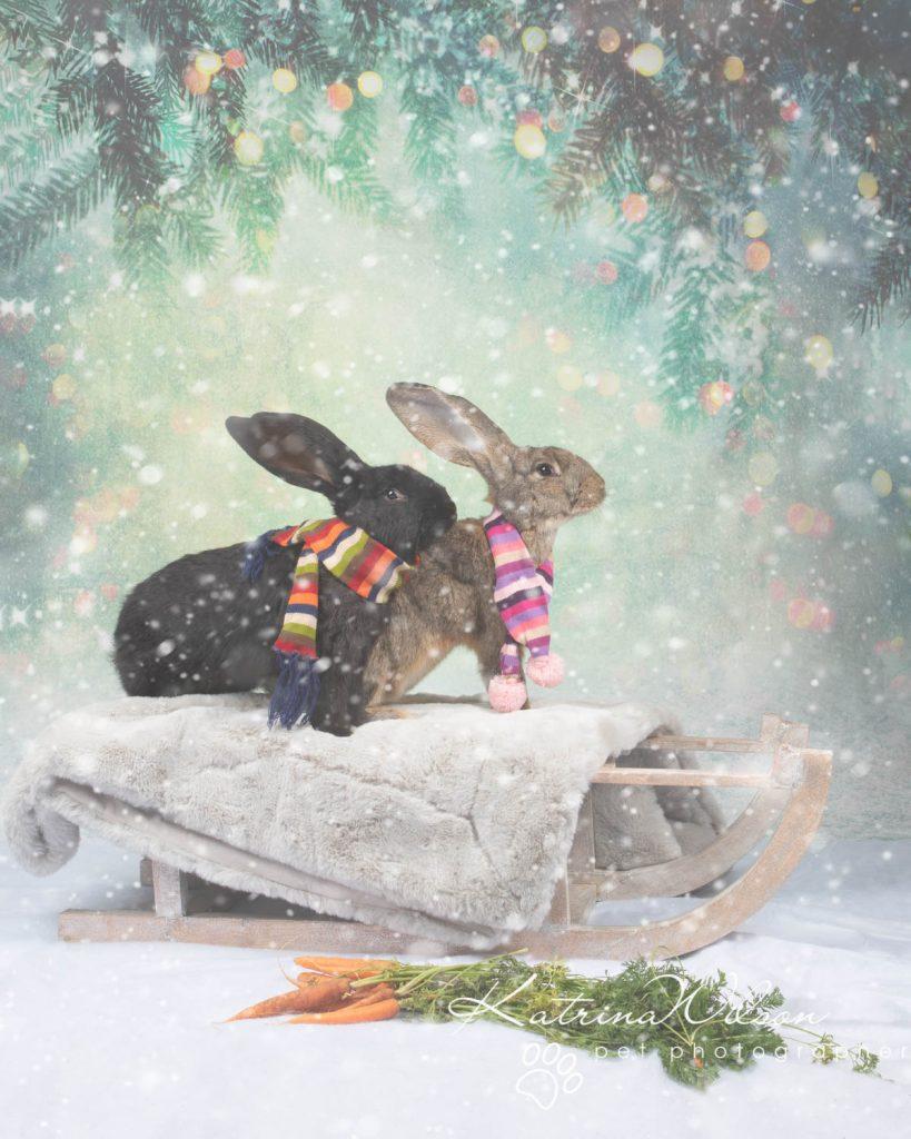 Christmas card animal cat rabbit - Katrina Wilson Dog Photography Bedfordshire-6